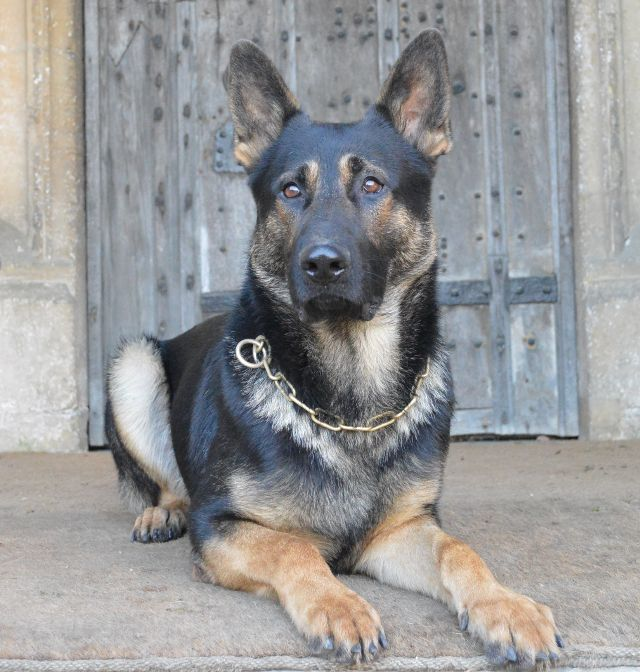 Protection dogs are fully trained for your personal protection by K9 Protection.