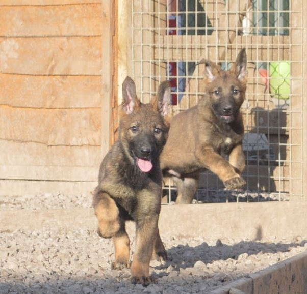 Puppies being trained to be obedient protection dogs - for sale