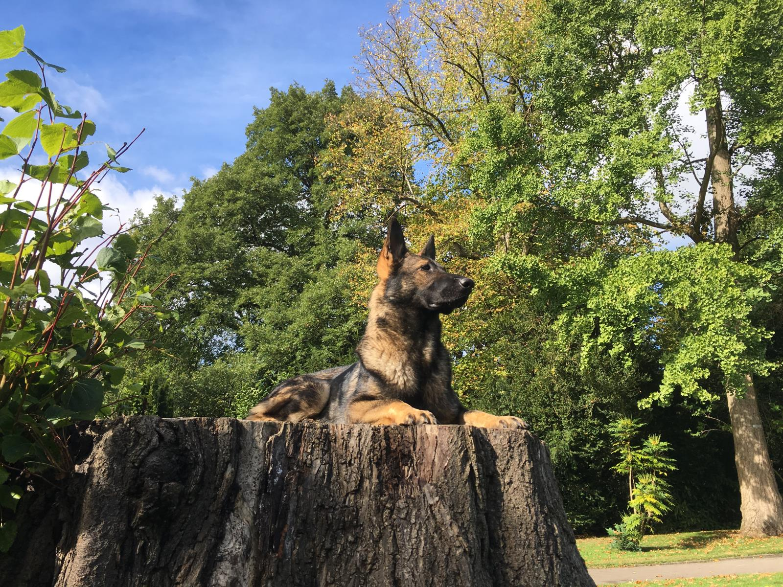 Trained German Shepherd dog for family protection