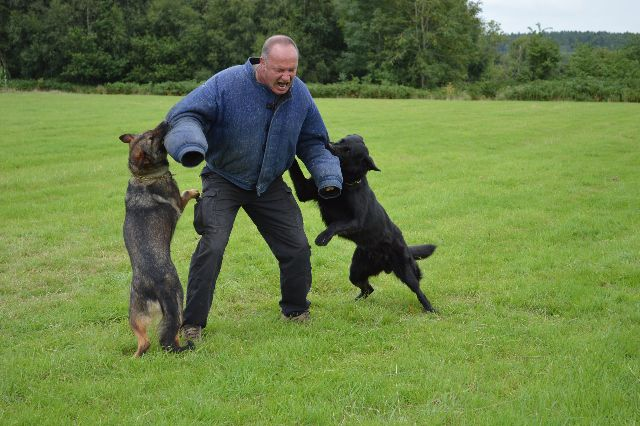 Protection Dogs Bib and Odin being trained by K9 Protector