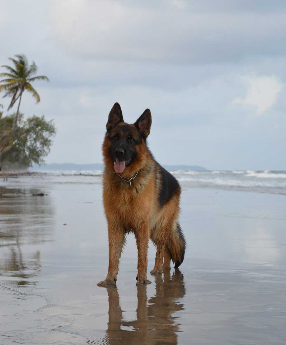 Family security abroad with K9 Protector dogs