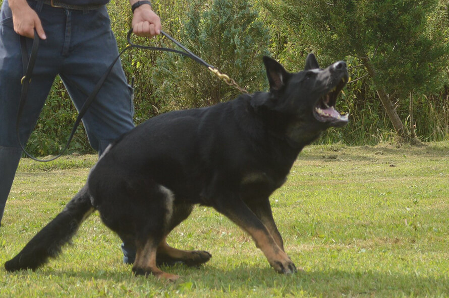 Trained security dogs - safety when you live in a remote area