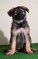 Candidate Protection Dog - Anya (Vom Valborg) SOLD