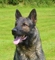 Elite Protection Dog Arric