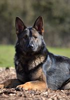 Elite Protection Dog Cyrius (vom Valborg)