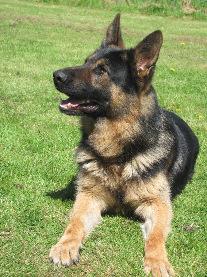 Buy Trained Guard Dogs Uk