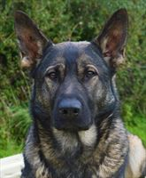 Elite Protection Dog Kizzy RESERVED