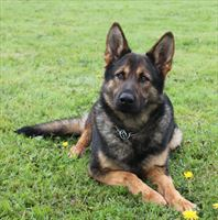 Protection Dog for sale -	LARA RESERVED