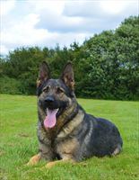 Elite Protection Dog Paige RESERVED