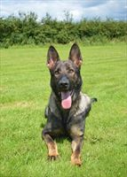 Elite Protection Dog Timba RESERVED