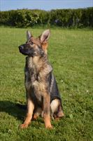 Candidate Protection Dog Varrick SOLD