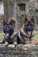 Elite Protection Dogs Volley & Zepher