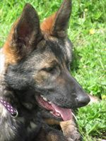 Protection dog - Sessi