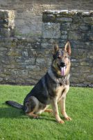 Protection Dog Erri