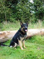 Protection Dog Jarro Now Sold