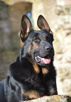 Elite Protection Dog  Asko