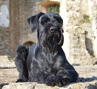 Elite Protection Dog for sale - ORFUS
