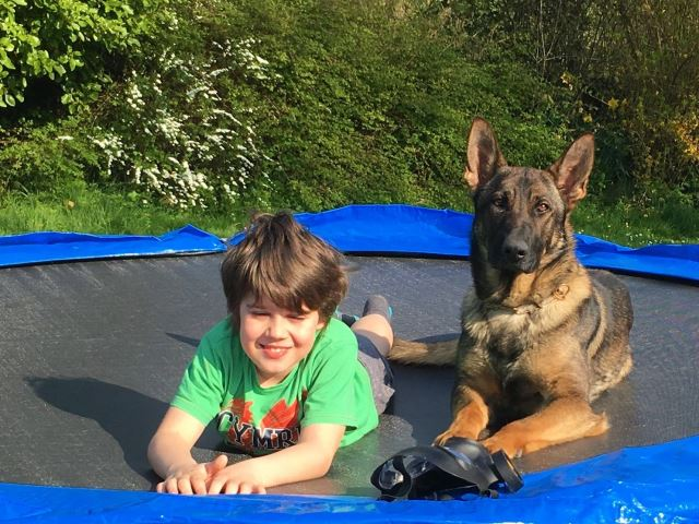 Trained German Shepherd dog for protecting family