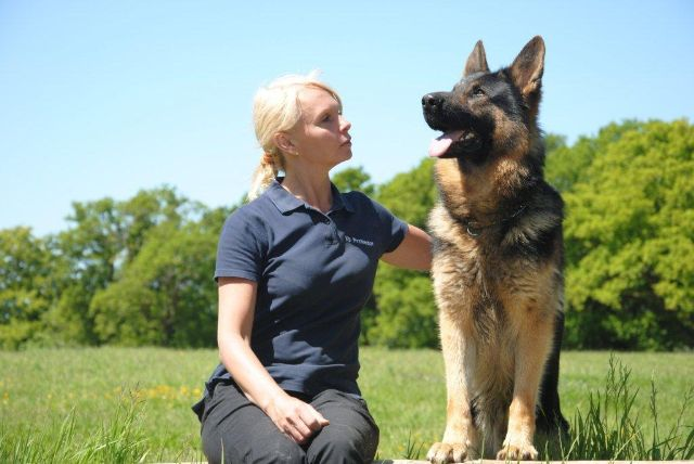 Protection dogs UK - Fully trained dogs for your personal protection by K9 Protector