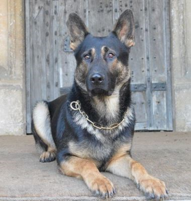 Estate and Personal Protection Dog Hyko