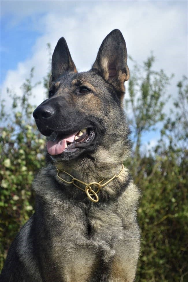 Elite Protection Dog Lakota