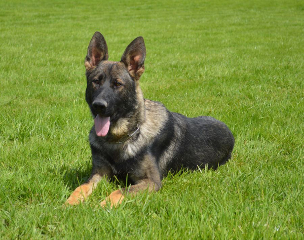 Elite Protection Dog - Storm (Vom Valborg)