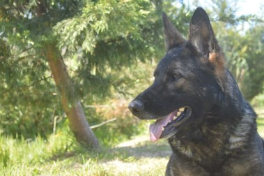 Elite Protection Dog Anouke
