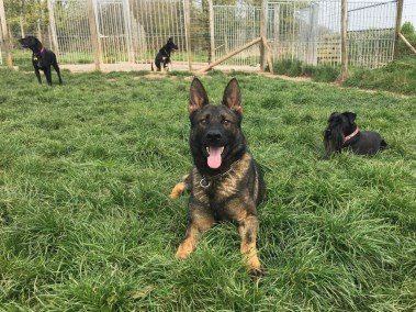 Elite Protection Dog Voldy sociable with dogs