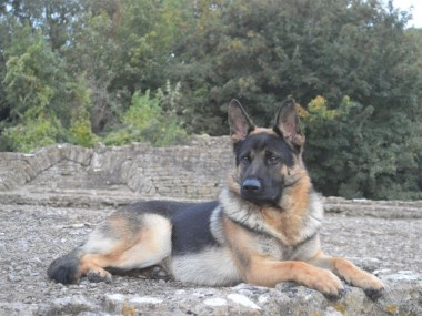 Elite Protection Dog Kujo
