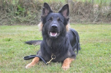 Elite Protection Dog Rommel
