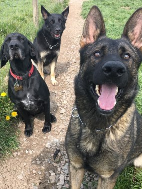 Elite Protection Dog Voldy with some doggy mates