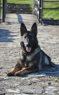 Elite Protection Dog - Star (Vom Valborg)