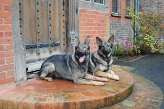 Personal protection dogs UK. Fully trained and supplied by K9  Protector