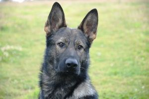 Family Protection Dog - Lasso. German Shepherd trained as a protection dog
