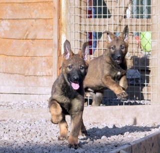 Protection dog puppies for sale - K9 Protector
