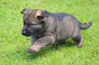 Protection dog puppies for sale when trained - K9 Protector