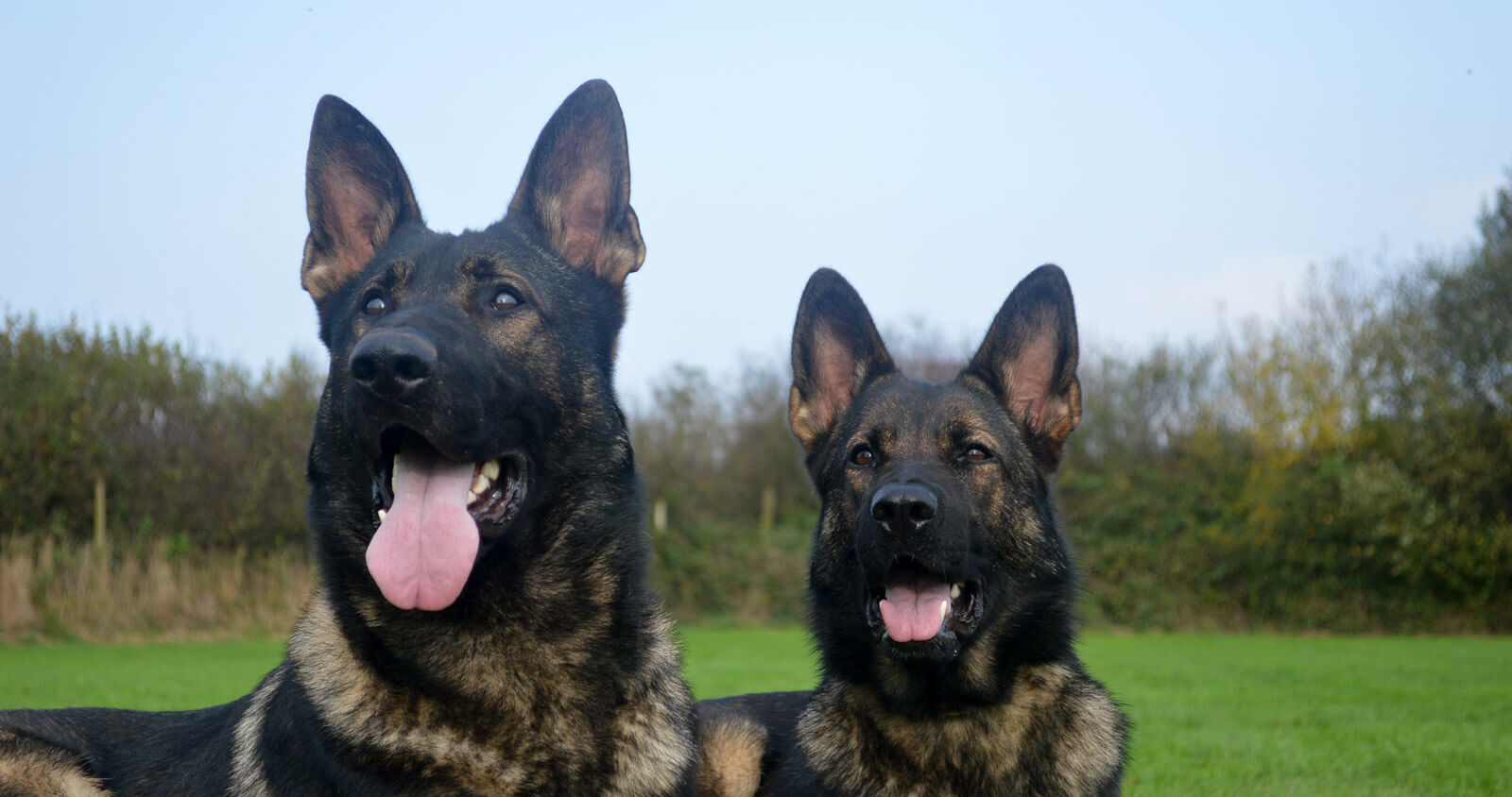 Family protection dogs supplied by K9 Protector UK